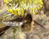 Greater bee fly (Bombylius major), a bee mimic