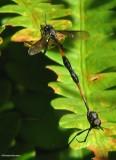 Bee flies (Systropus macer), mimic of Ichnemonid wasps