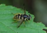 Hover fly (Sericomyia chrysotoxoides), bee mimic