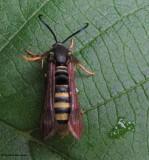 Raspberry crown borer moth  (Pennisetia marginata) #2513