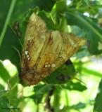 Wild indigo borer moth (Papaipema baptisiae), #9485