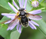 Hover fly  (Sericomyia  militaris) wasp mimic
