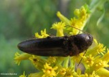 Click beetle (Melanotus sp.)