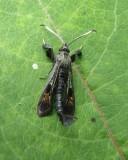 Virginia creeper clearwing moth (Albuna fraxini) #2532