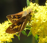 Skippers of Larose Forest