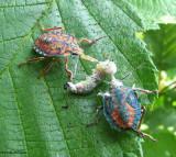 Two stinkbug nymphs, (Apoecilus?), feeding on a caterpillar