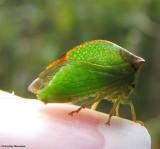 Treehoppers (Membracidae)