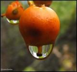 Bittersweet fruit  (Celastrus scandens) and raindrop