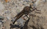 Robber fly (Proctacanthus sp.)