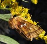 Bracken borer moth (Papaipema pterisii), #9480