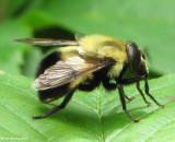 Hover fly (Volucella sp.)