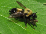 Side view of robber fly (Laphria) with prey, looking more bumblebee like!
