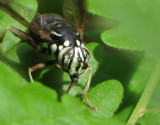 Hover fly (Spilomyia fusca), a Bald-faced hornet mimic