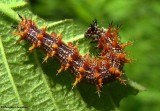 Question mark butterfly larva (Polygonia  interrogationis)