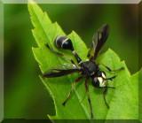Thick headed fly (Physocephala furcillata)