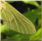Dew-covered wing of an Ephemeroptera