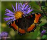 Butterflies  (Lepidoptera) of Larose Forest