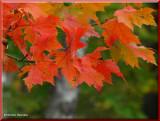 Red Maple leaves(Acer rubrum)