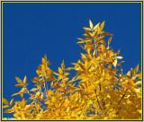 Ash tree (Fraxinus)