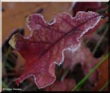 Frost on oak leaf