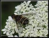 Bee fly (Villa)