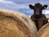 nozy cow
