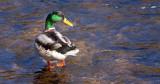 paddling mallard