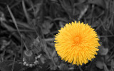 the best dandelion in the world...ever