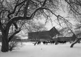 1981-01 Cows - Barn - Snow Unadilla, NY