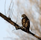Buse �à épaulettes / Red-shouldered Hawk