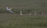 Grandes Aigrettes / Great Egret