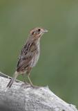 Bruant de Nelson / Nelson's Sharp-tailed Sparrow