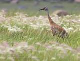Grue du Canada / Sandhill Crane