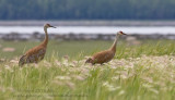 Grues du Canada / Sandhill Crane