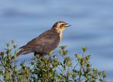 Carouge �ETête Jaune (juv) / Yellow-headed Blackbird (juv)