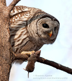 Chouette Rayée / Barred Owl