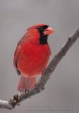 Cardinal rouge  /  Northern Cardinal