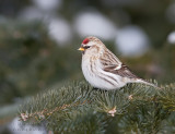 Sizerin blanchâtre / Hoary Redpoll