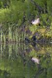 Canard Pilet / Norther Pintail