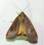 The Underwing Moths