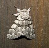 9182 - Eastern Panthea Moth Panthea furcilla Athol 6-7-2010.JPG