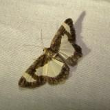 6261 -- Common Spring Moth -- Heliomata cycladata Mothball 6-19-2010.JPG