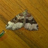 7399a -- Sharp-angled Carpet Moth -- Euphyia unangulata  Mothball 6-19-2010.JPG
