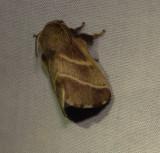 7701 -- Eastern Tent Caterpillar Moth -- Mallacosoma americanum Mothball 6-19-2010.JPG