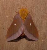 7723 -- Pink-striped Oakworm Moth -- Anisota virginiensis Mothball 6-19-2010.JPG