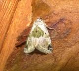 9049 -- Black-dotted Lithacodia Moth -- Maliattha synochitis Mothball 6-19-2010.JPG
