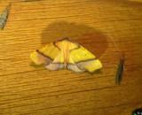 6842 -- Straight-lined Plagodis Moth -- Plagodis phlogosaria Athol 7-10-2010.JPG