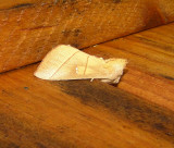7915 -- White-dotted Prominent Moth -- Nadata gibbosa Athol 7-8-2010.JPG