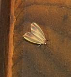 8090 -- Painted Lichen Moth -- Hypoprepia fucosa Athol 7-9-2010 .JPG Accepted by BAMONA
