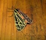8197 -- Virgin Tiger Moth -- Grammia virgo Athol 7-10-2010 2.JPG